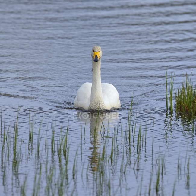 Whooper swan adult on water in Southern Region, Iceland, Europe — Stock Photo