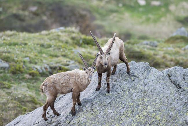 Steinböcke stehen und suchen Sie in der Kamera, im Nationalpark Hohe Tauern, Kärnten, Österreich, Europa — Stockfoto