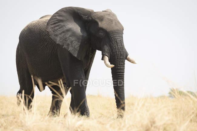 Elefante africano andando na pastagem, Parque Nacional de Chobe, Botswana, África — Fotografia de Stock