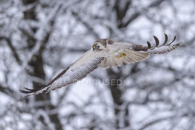 Ratonero común en vuelo, zona de la Biosfera Swabian Jura, Baden-Wurttemberg, Alemania, Europa - foto de stock