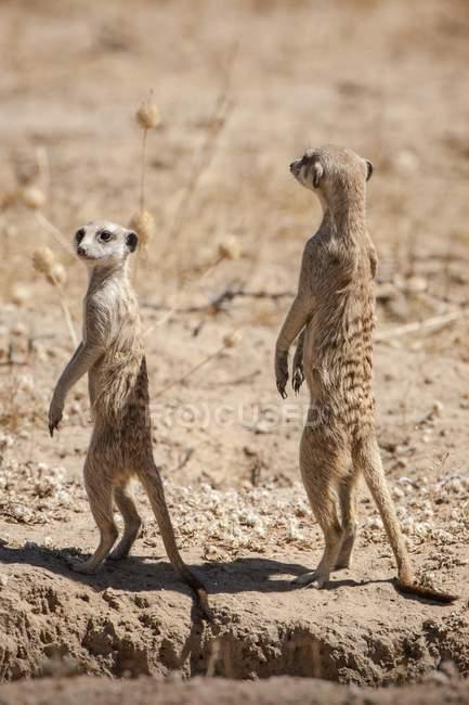 Suricati ricerca, Kgalagadi Transfrontier Park, Northern Cape, Sud Africa, Africa — Foto stock