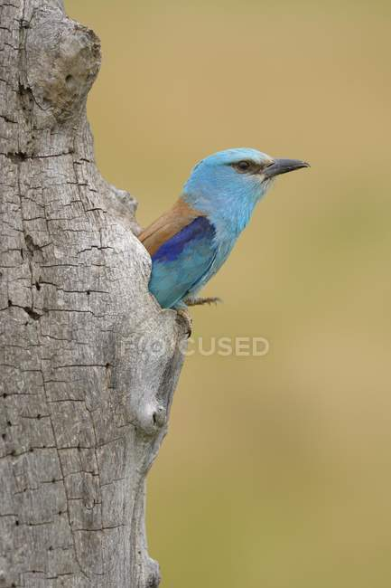 European roller looking out of nest, Kiskunsag National Park, Hungary, Europe — Foto stock