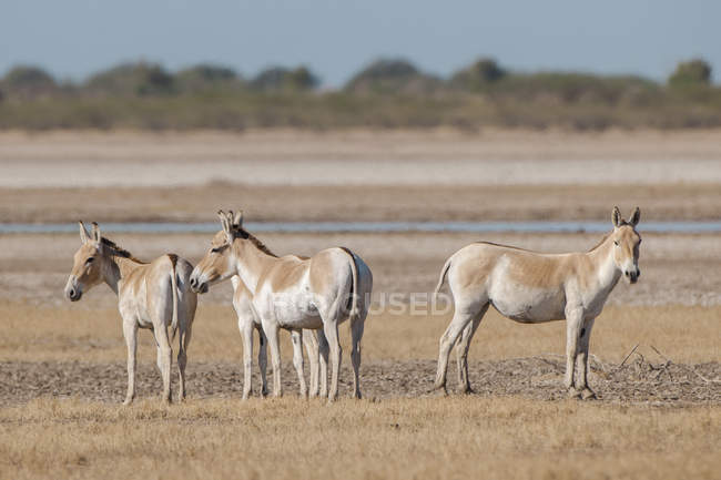 Onagers pasturing on meadow in Little Rann of Kutch, Gujarat, India, Asia — Stockfoto