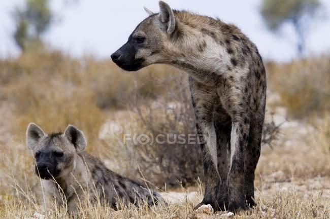 Iene che riposa nell'erba del deserto del Kalahari, Kgalagadi Transfrontier Park, Northern Cape, Sud Africa, Africa — Foto stock
