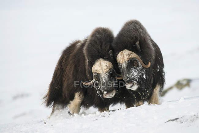 Taureaux de boeufs musqués côte à côte dans la neige, parc National de Dovrefjell-Sunndalsfjella, Norvège, Europe — Photo de stock