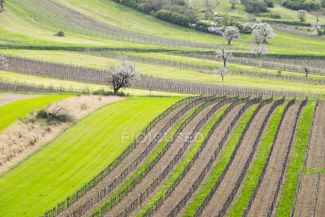 Paesaggio di primavera con vigneti e ciliegi, ruggine foothills, Oggau am Neusiedler See, Burgenland settentrionale, Burgenland, Austria, Europa — Foto stock