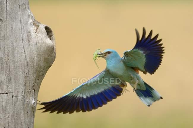 European roller approaching nesting hole with prey in beak, Kiskunsag National Park, Hungary, Europe — Fotografia de Stock