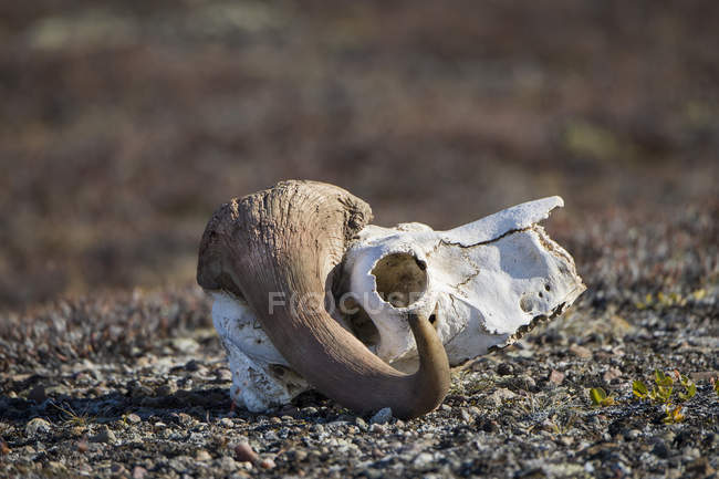 Bleached skull of a musk ox, Holmbugt, Kong Oscar Fjord, Northeast Greenland National Park, Greenland, North America — Stock Photo