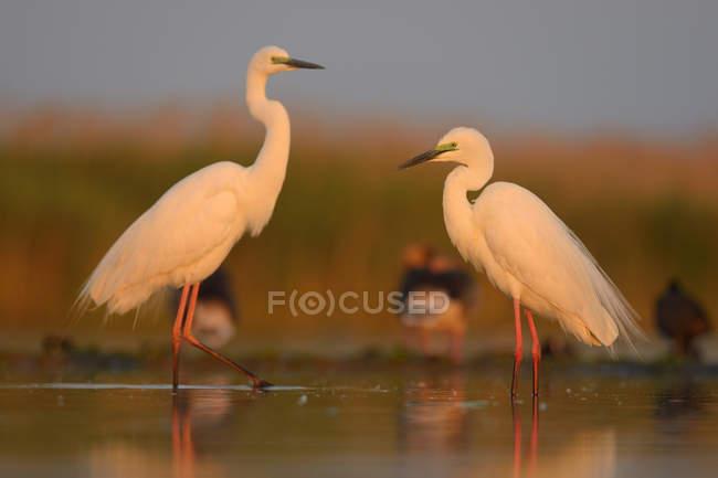 Uccelli di Airone bianco nella luce del mattino in zona umida — Foto stock