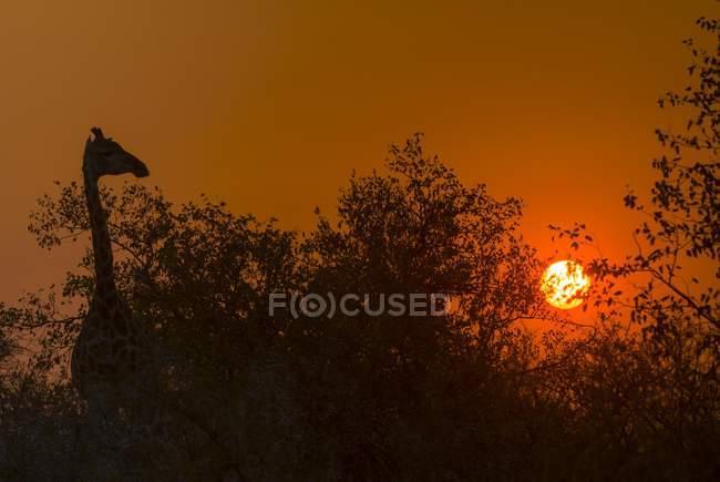 Siluetta della giraffa nel alberi ad alba con retroilluminazione, Parco nazionale di Kruger, Sudafrica, Africa — Foto stock