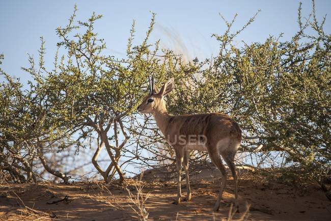 Steenbok antelope in bushes, Kgalagadi Transfrontier National Park, Northern Cape Province, South Africa, Africa — Foto stock