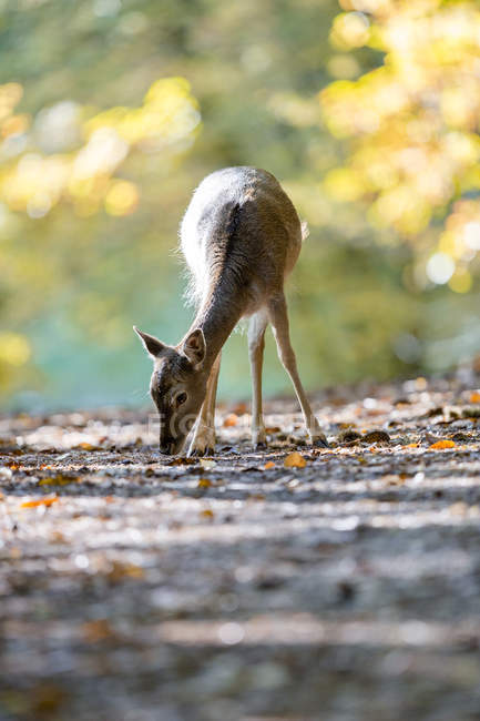 Fallow deer feeding on autumnal road in woodland — Stock Photo