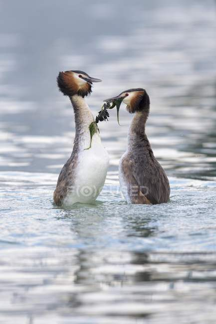 Great crested grebes breeding pair in courtship display on Lake Constance, Baden Wurttemberg, Germany, Europe — Fotografia de Stock