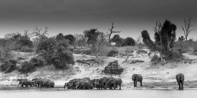 Manada de elefantes africanos em pé na água potável do rio, vista panorâmica, Parque Nacional de Chobe, Rio Chobe, Botswana, África — Fotografia de Stock