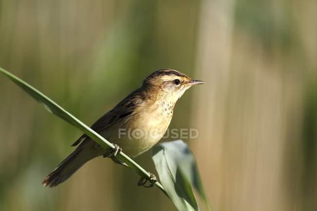 Sedge warbler sitting on reed stem, close-up — Stock Photo