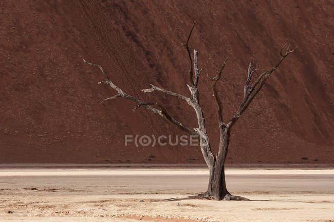 Dead camel thorn tree in front of sand dune, Dead Vlei, Sossusvlei, Namib Desert, Namib-Naukluft National Park, Namibia, Africa — Fotografia de Stock
