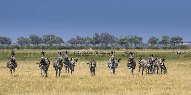 Burchells as zebras pastando na grama, área Savuti, Parque Nacional de Chobe, Botswana, África — Fotografia de Stock