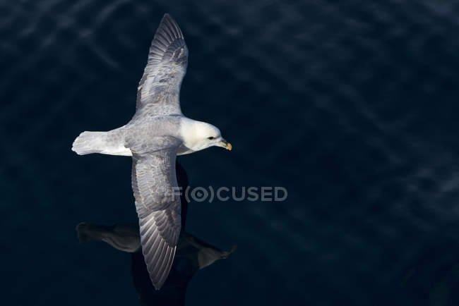 Northern fulmar bird in flight over water surface in Greenland — Stock Photo