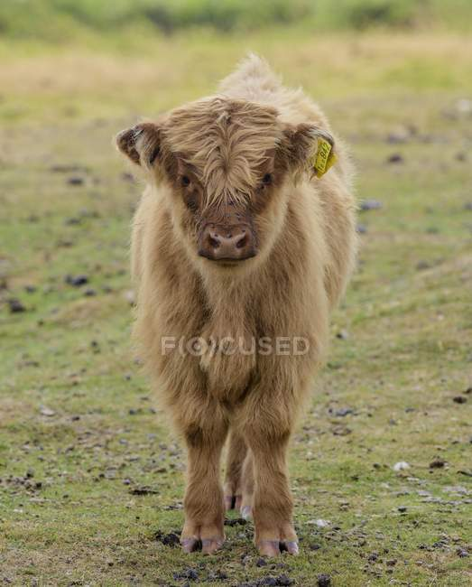 Vitello della Scottish Highland Cattle, Teignbridge, Inghilterra, Gran Bretagna — Foto stock