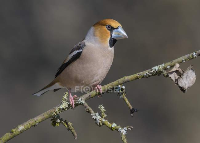 Hawfinch in splendid plumage sitting on branch with lichen — Stock Photo