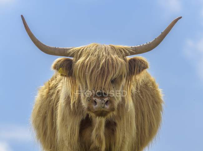 In piedi di Scottish Highland Cattle contro cielo blu — Foto stock