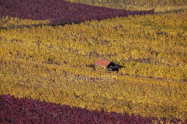 Vigneto con viti nel fogliame di autunno, Heidelberg, Baden-Wurttemberg, Germania, Europa — Foto stock