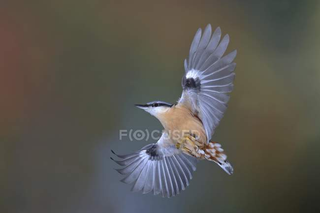 Eurasian nuthatch in flight, North Rhine-Westphalia, Germany, Europe — Stock Photo