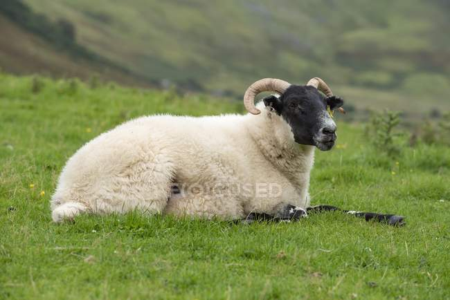 Dalesbred sheep lying in green grass, Isle of Skye, Scotland, Great Britain — Foto stock
