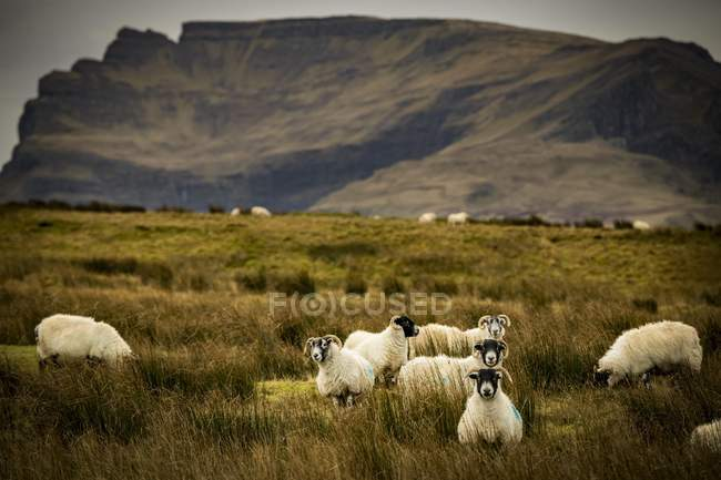 Scottish blackface domestic sheep in meadow of mountain range, Isle of Skye, Scotland, United Kingdom, Europe — Foto stock