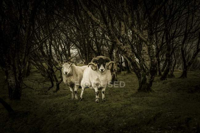 Scottish blackface domestic sheep in birch forest, Isle of Skye, Scotland, United Kingdom, Europe — Foto stock