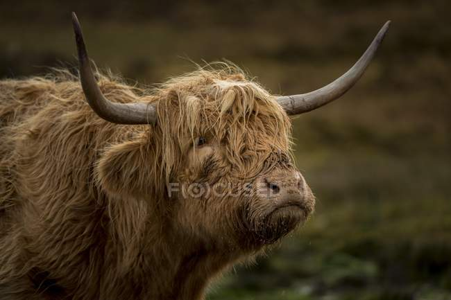 Scottish Highland Cattle, animale ritratto all'aperto — Foto stock