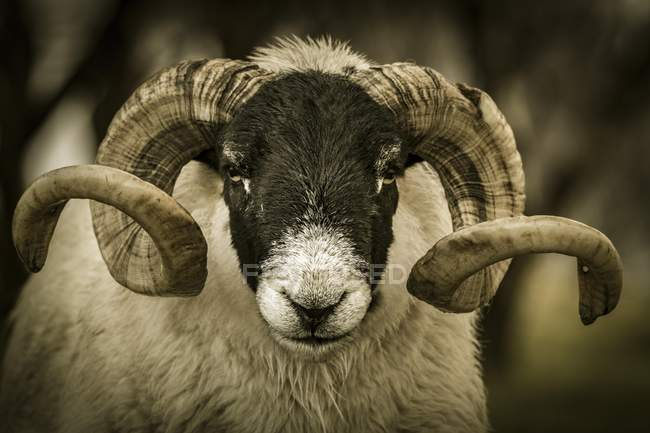 Scottish blackface domestic sheep with horns in meadow, animal portrait, Isle of Skye, Scotland, United Kingdom, Europe — Foto stock