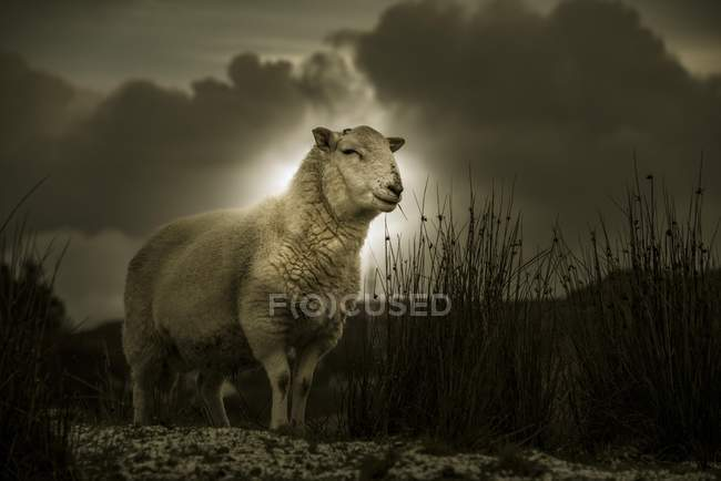 Scottish domestic sheep in meadow under dramatic sky, Isle of Skye, Scotland, United Kingdom, Europe — Foto stock