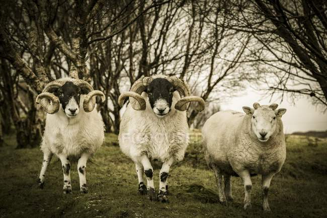 Scottish blackface domestic sheep in birch forest of Isle of Skye, Scotland, United Kingdom, Europe — Foto stock