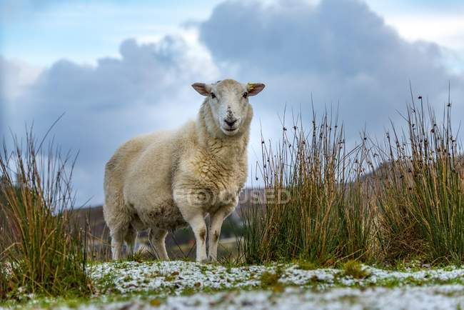 Scottish domestic sheep in meadow, Isle of Skye, Scotland, United Kingdom, Europe — Foto stock