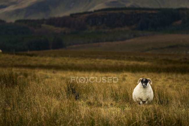 Scottish blackface domestic sheep in grassy meadow, Isle of Skye, Scotland, United Kingdom, Europe — Foto stock