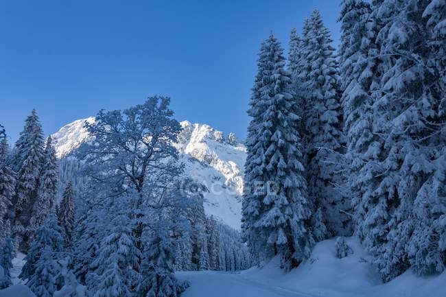 Winter forest with snow-covered Allgau mountains, Reutte, Auerfern, Tyrol, Austria, Europe — Stock Photo