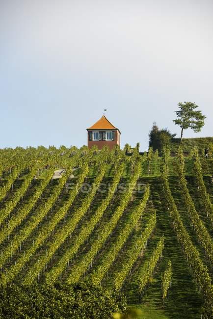 Rustico con vigneto, Immenstaad, Lago di Costanza, Baden-Wurttemberg, Germania, Europa — Foto stock