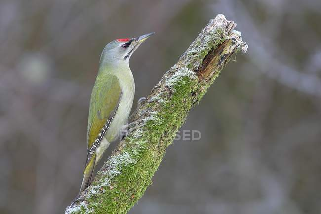 Grey-headed woodpecker male sitting on mossy branch in winter, North Rhine-Westphalia, Germany, Europe — Stock Photo