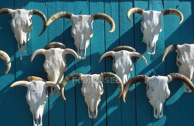 Стена из бычьих черепов с рогами — стоковое фото