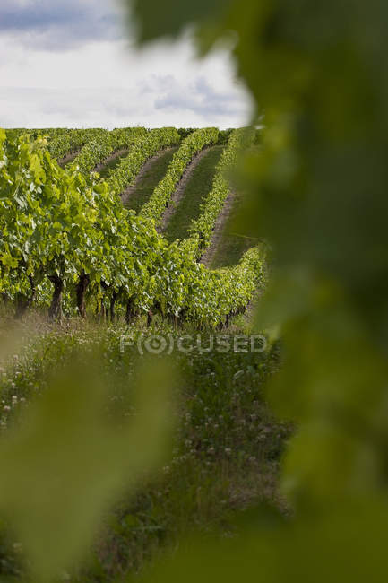 Grape vines at vineyard — Stock Photo