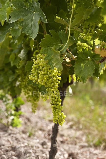 Weiße Trauben im Weinberg — Stockfoto