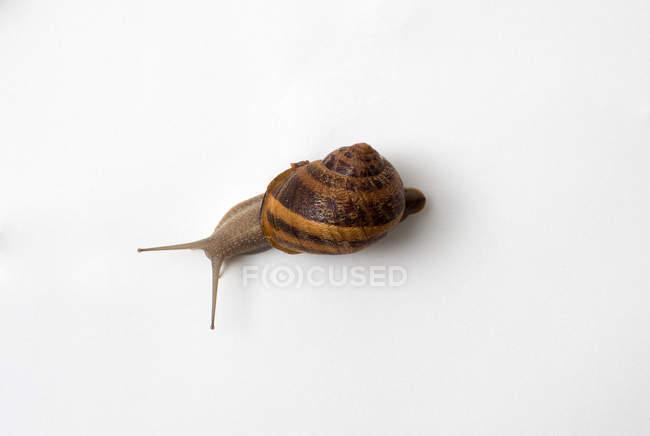 Snail on white background — Stock Photo