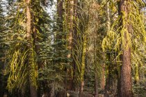 Detail of forest fir trees — Stock Photo