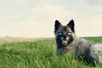 Grauer Hund auf Wiese — Stockfoto