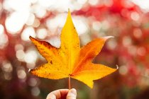 Woman holding yellow maple leaf — Stock Photo