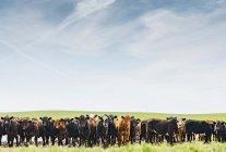 Linha de vacas na paisagem do campo — Fotografia de Stock