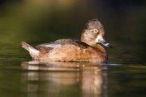 Le Fuligule nager dans l'eau — Photo de stock