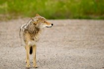 Coyote standing on sand — Stock Photo