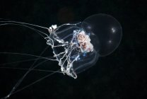 Medusas de Halitholus bajo el agua - foto de stock